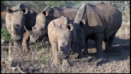 White Rhino Black Rhino