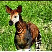 African Okapis