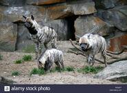 Clan of Striped Hyenas