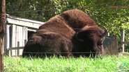 Columbus Zoo Bison V2