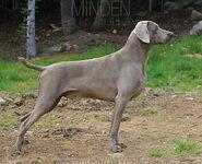Domestic Dog (Male)