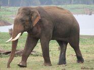 Elephant, Indian (V2)