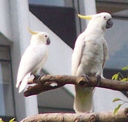 Male and Female Sulphur-Crested Cockatoos