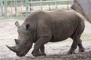 Southern-white-rhinoceros-4366318 1280 5178aa374172c65db274e4013adc68f2