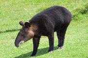 Tapir, Mountain.jpg