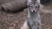 Utica Zoo Arctic Fox