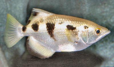 Banded Archerfish