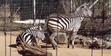 Birmingham Zoo Zebras