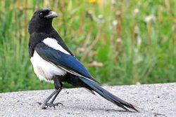 Black-Billed Magpie.jpg