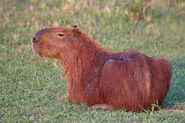 CapybaraImage