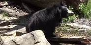 Cleveland Metroparks Zoo Sloth Bear