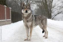 Czechoslovakian-wolfdog-2.jpg