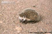 Desert-hedgehog.jpg