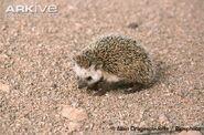 Desert-hedgehog