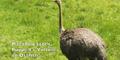 FWCZ Ostrich