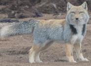 Fox, Tibetan