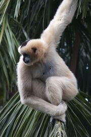 Gibbon, White-Cheeked.jpg