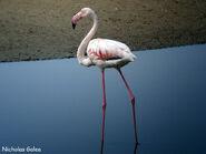 Greater Flamingo (V2)