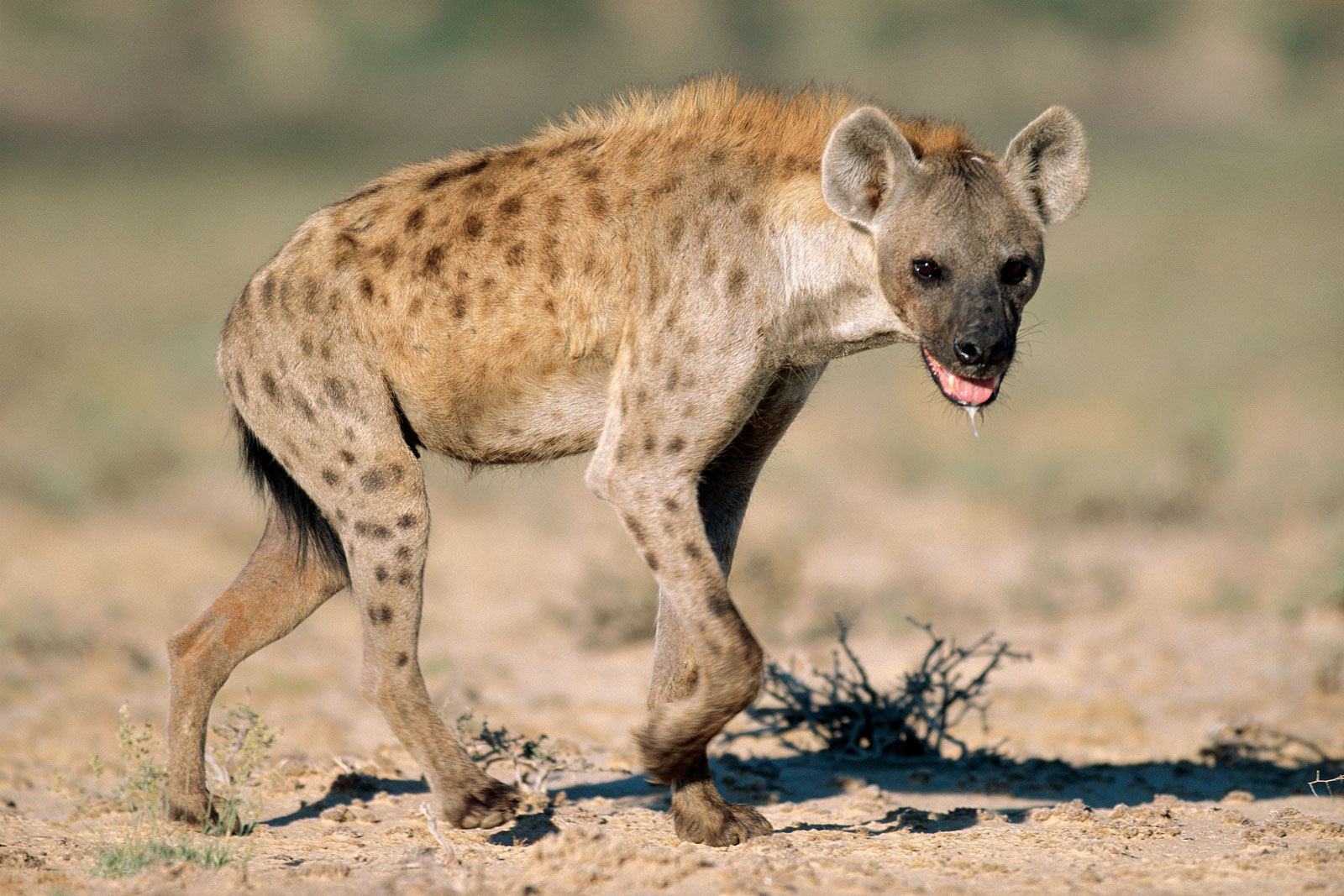 West African Spotted Hyena