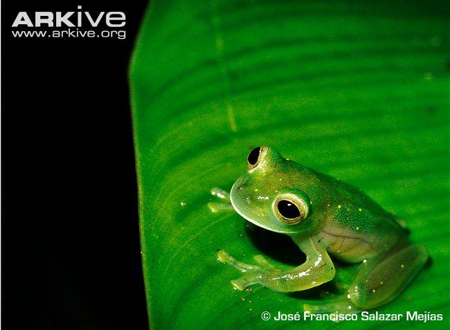 Aragua Glass Frog