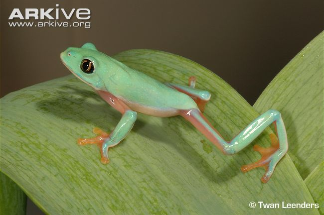 Blue Sided Tree Frog