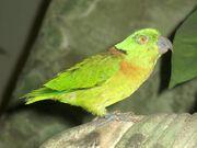 Lovebird, Black-Collared.jpg