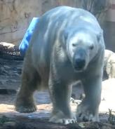 Memphis Zoo Polar Bear
