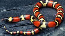 Milk-snakes-poisonous 84a13e845ae86d31.jpg