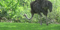 Pittsburgh Zoo Ostrich