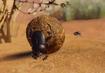 Sacred-scarab-beetle-planet-zoo