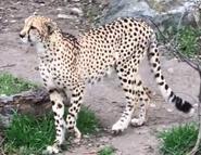 San Antonio Zoo Cheetah
