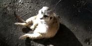 San Diego Zoo Meerkat