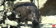 San Diego Zoo Pygmy Hippopotamus