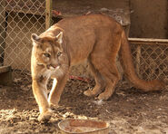 South American Cougar