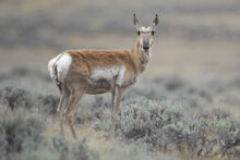 Antilocapra americana female (Wyoming, 2012).jpg