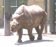 Birmingham Zoo Black Rhinoceros