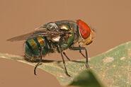 Chrysomya megacephala male