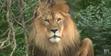 Henry Vilas Zoo Lion