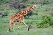 Reticulated Giraffe (V2)