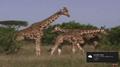 Rhinoceroses and Giraffes