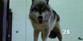 Zoo 2015 Wolf