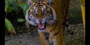 CITIRWN Tiger