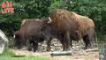 Columbus Zoo Bison