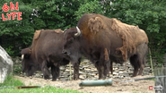 Columbus Zoo Bison