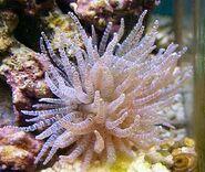 Corkscrew-anemone