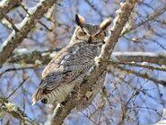 Great horned owl markusclement