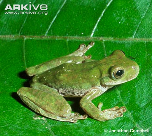 Pine-forest Stream Frog