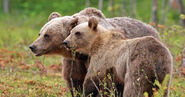 Male and Female Grizzly Bears