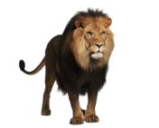 NatureRules1 Masai Lion