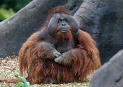 Orangutan, Bornean.jpg